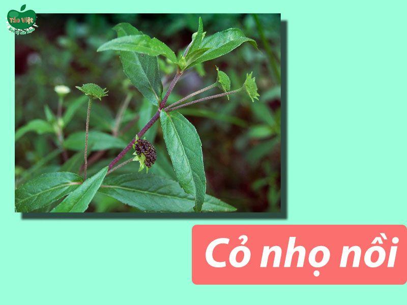 Bài thuốc dân gian chữa hói đầu từ cỏ nhọ nồi